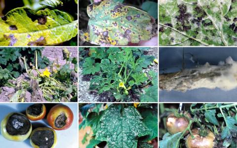 Самые опасные болезни овощей…