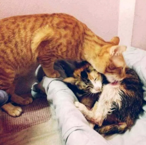 Кот-отец поддержал свою кошк…