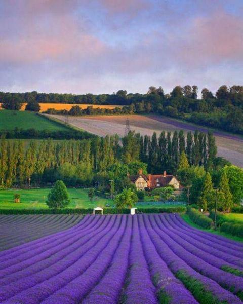 Лавандовые поля, Прованс, Франция