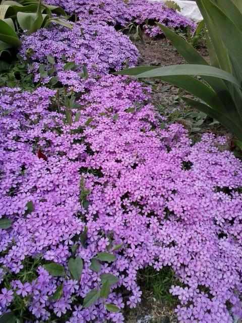 Как называются эти цветочки?