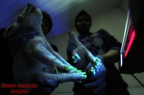 Китайцы создали поросят со светящимися копытцами