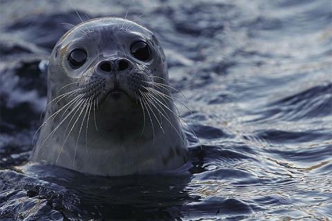 Просится на ручки и ночует под окном: спасенный в Ленобласти тюлень поверил, что люди – его родители