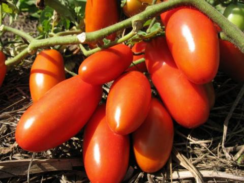 12 советов по выращиванию томатов в открытом грунте