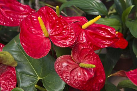 Антуриум: Секреты выращивания от опытных цветоводов