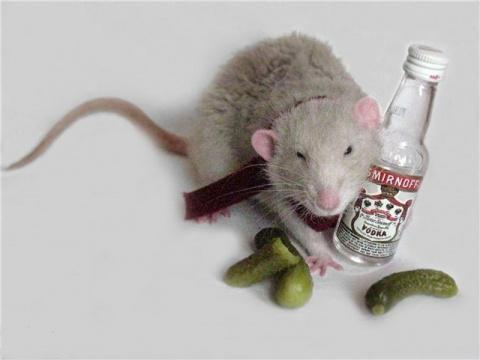 Полицейские обвинили крыс в …
