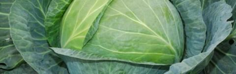 Характеристика сорта капусты…