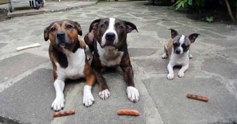 Этим троим псам раздали по колбаске. А теперь посмотри, что делает самый маленький