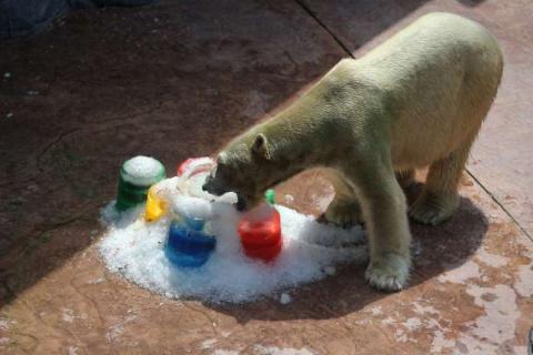 В зоопарке Сингапура белый медведь-долгожитель отпраздновал 26-летие