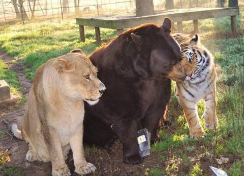 ТЕРЕМОК. Невероятная дружба трех хищников