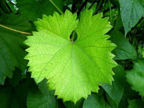 Как засолить виноградные листья
