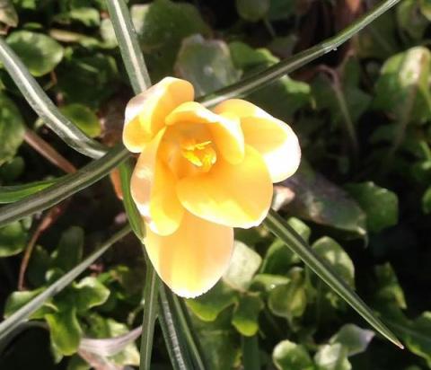 Цветы марта. Ботанические крокусы