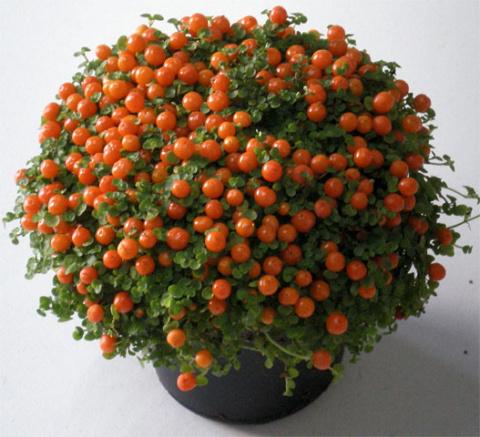 Совет как оживить комнатный цветок или чудо-эликсир для цветов.