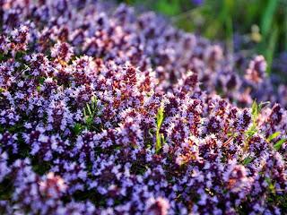 Какие цветы отпугивают комаров?