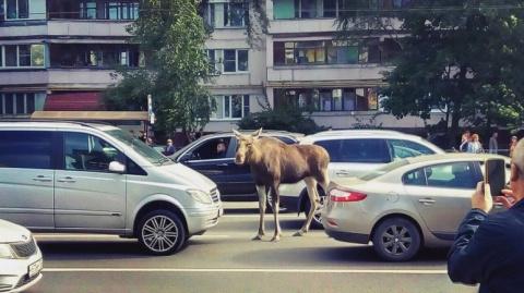 Лосиха приставала к водителям на улицах Москвы в час пик.