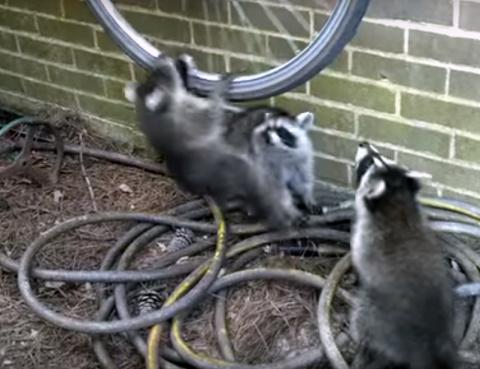 Три озорных енота подрались …