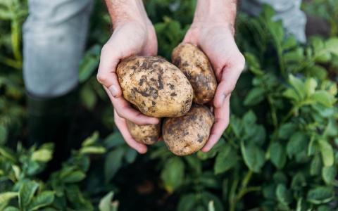Картофель: система подкормок…