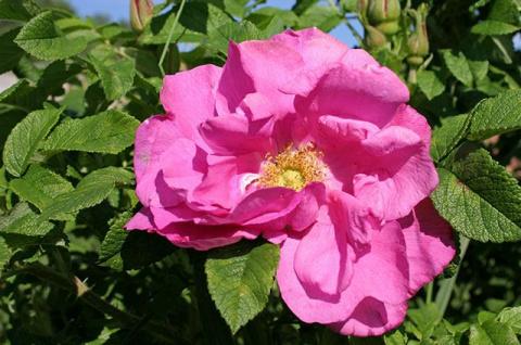 Чем полезны цветки, плоды и семена шиповника. Рецепты из лепестков