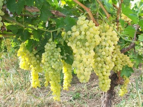 Суперподкормку для винограда делаю сам