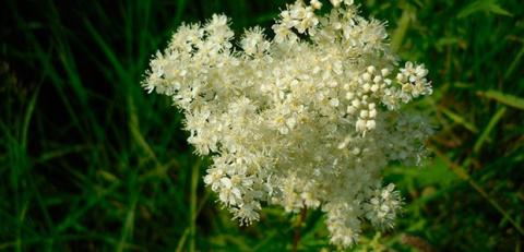 Таволга – полезные, лечебные свойства и противопоказания лабазника