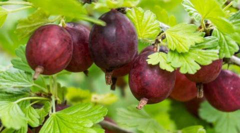 Подкормка ягодных кустарников