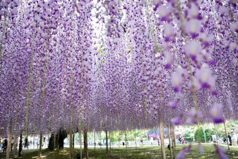 Потрясающий ливень нежных глициний в парке цветов Асикага. (Фото)