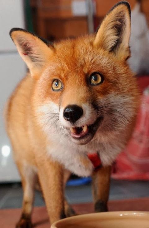 Удивительная история одной лисы