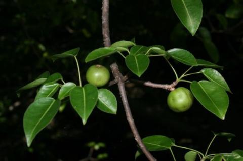 Манцинелловое дерево — самое…