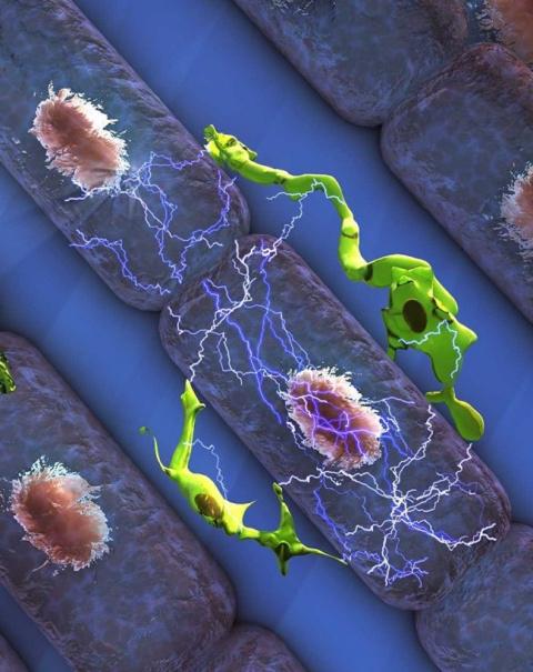 Ученые обнаружили в человеческом сердце встроенный «дефибриллятор»
