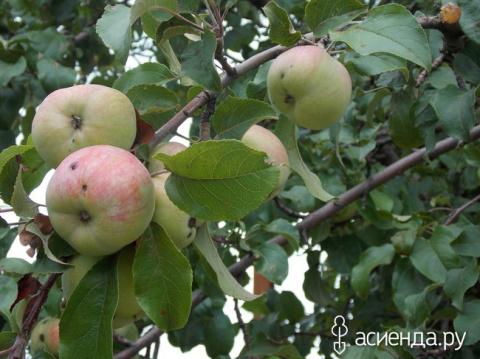 Пастила Яблочная