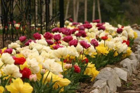 МИР РАСТЕНИЙ.  Тюльпаны махровые