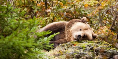 Что происходит с медведем во время зимней спячки