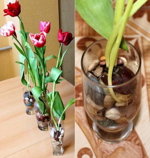 Выращивание тюльпанов в проз…