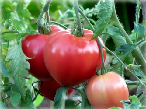 Метод выращивания томатов без полива