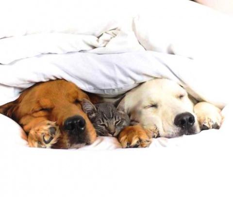 Третий не лишний — весь Инстаграм влюбился в семью ретриверов и их друга-кота