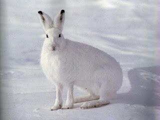 Петли на зайца, охота на зай…