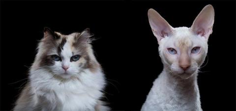 17 малоизвестных, но безумно красивых пород кошек