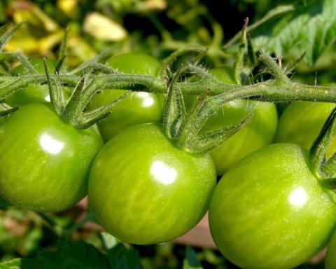 Зелёные помидоры: лучшие рецепты