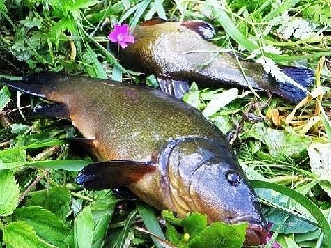 Рыба преобладающая