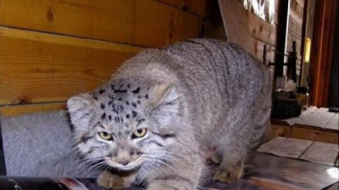 В России кот манул загрыз троих грабителей, которые вломились в дом к пенсионерке
