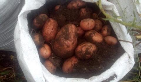 Выращиваем картошку в мешках…