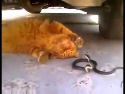 Кот и змея, опасные игры. (Видео)