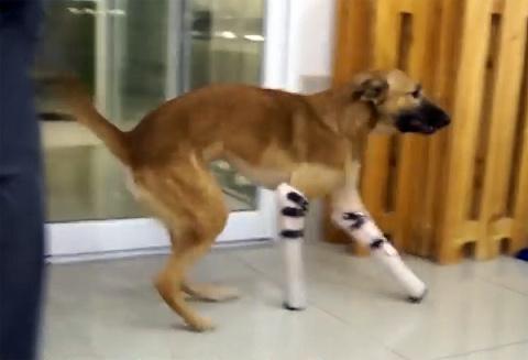 Пес-инвалид встал на ноги пр…