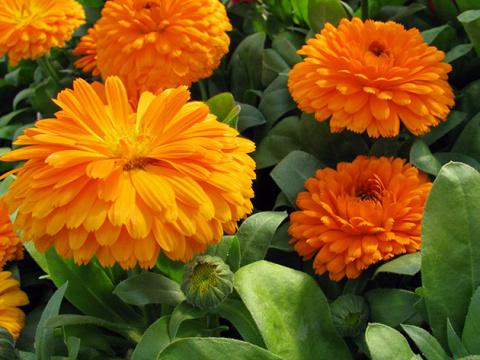 Цветки календулы лечебные свойства