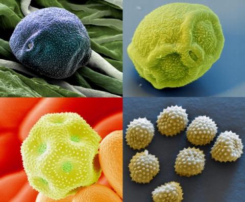 Фотографии частиц пыльцы в м…