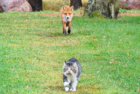 Голодная лиса решила подзакусить котом...