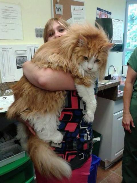 То чувство, когда понимаешь, что твой кот не просто большой, а НУ ОЧЕНЬ большой....