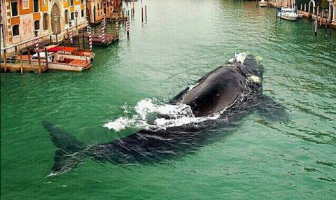 В Венецию заплыл живой… кит!