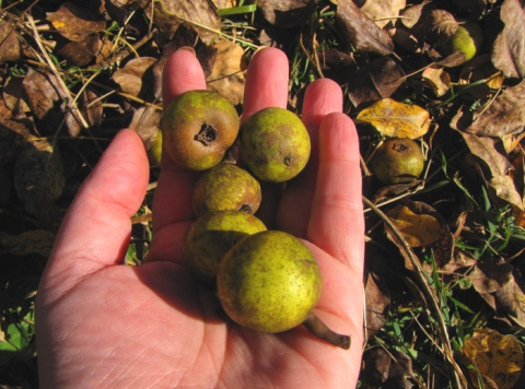 Чудеса из груши-дикарки. Зря люди не ценят эти невзрачные плоды!