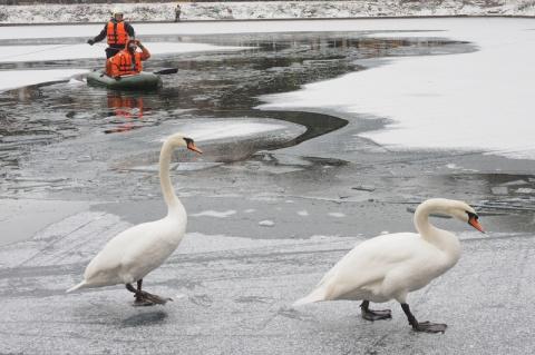 Сотрудники МЧС Москвы спасли двух лебедей и утят с замерзших прудов