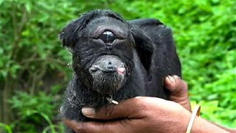 В Индии козла-мутанта с одни…